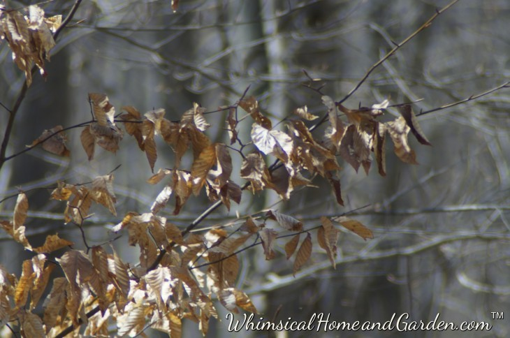 Hickory leaves are the last leaves to fall, waiting until early spring.....
