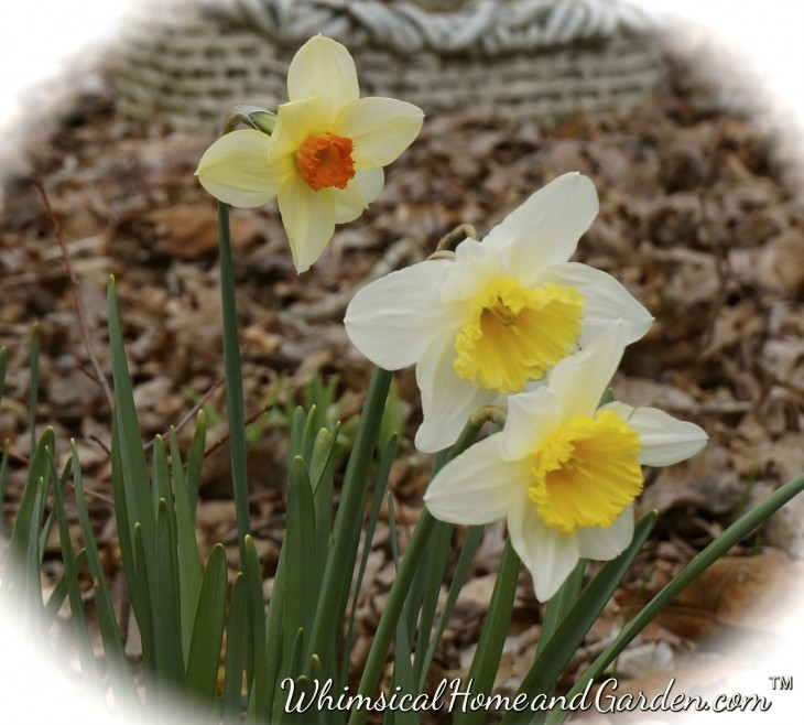The snow around my daffodils has left, and despite the drab of brown leaves, the daffodils, tulips, crocus and grape hyacinth have thrived......