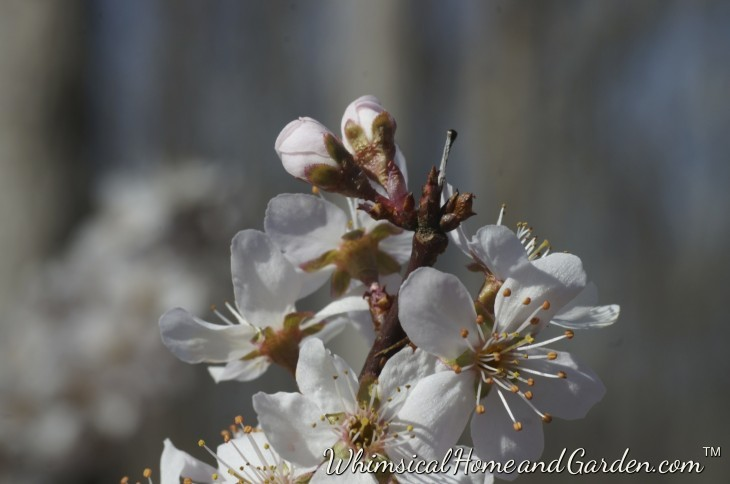 Blossoms on a purple plum in the side yard.