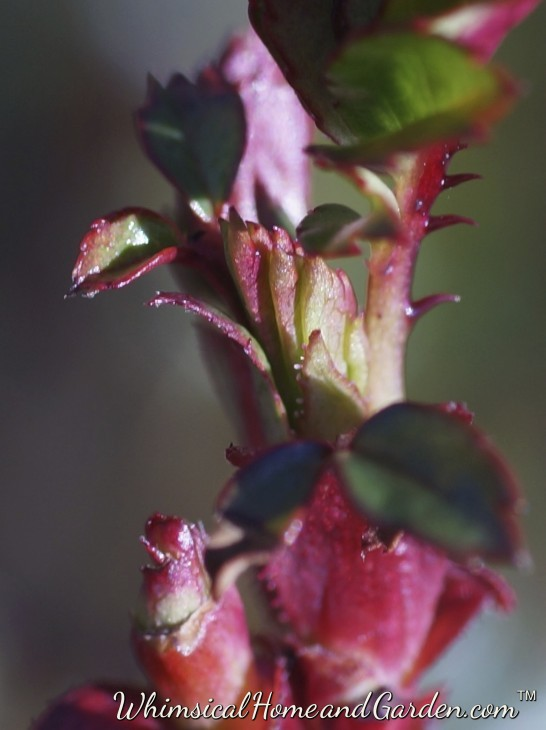 Rose leaves and swollen flower buds along the driveway.