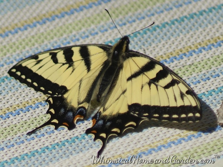 The same morning the bluebirds appeared, this Swallowtail butterfly rested on a chair on the deck just outside the kitchen.