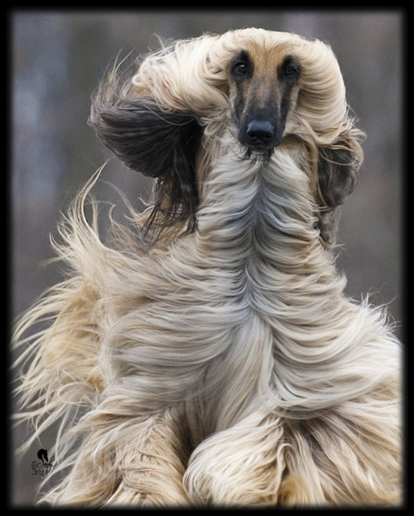"The beautiful Ch. Criston Enchanted......call name ""Rachel"", the #1 Afghan Hound bitch in 2012. She was at this show and took my breath away.....again. You go girl!"