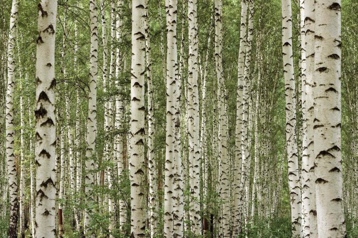 04_Wallpaper-Birch-Trees_WHG