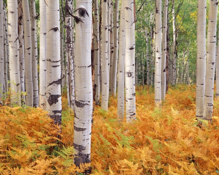 05_Birch-Tree-Desktop-Wallpaper_WHG