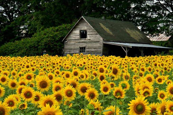 09_sunflower-field-and-barn-tom-wray_WHG