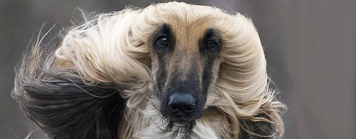 Afghan Hound Specialty Show……